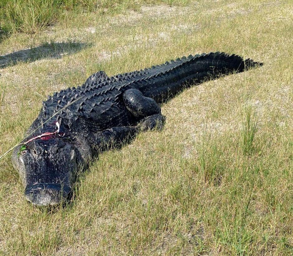 Encuentran restos de un hombre dentro de un caimán en Florida