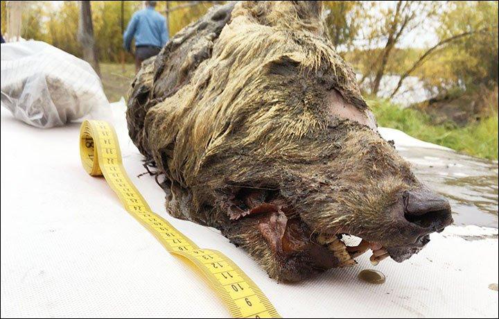 La cabeza del lobo.