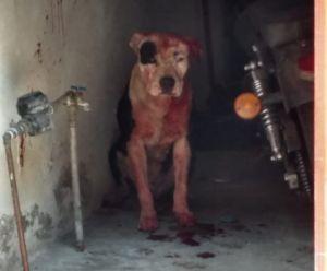 Perro pitbull mata a niño de dos años mientras su mamá lavaba la ropa