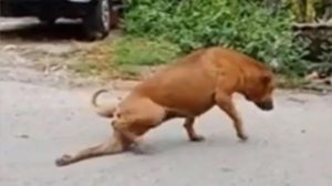 Este perro finge tener la pata rota para obtener comida, su actuación se hizo viral