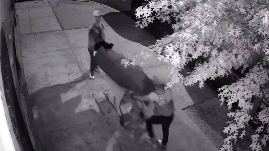 Insólito video: dos hombres llevando cadáver en una alfombra roja hasta Starbucks de Nueva York