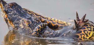 La batalla a muerte entre una anaconda y un caimán en plena Amazonía de Brasil
