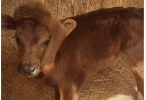 Nace becerra en granja de Louisiana con pata en la cabeza