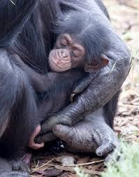 Este vídeo de una chimpancé y su bebé es todo lo que necesitas ver hoy, ¡te cambiará!