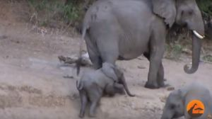 VIDEO: Una manada de elefantes lo deja todo para ayudar a un cachorro