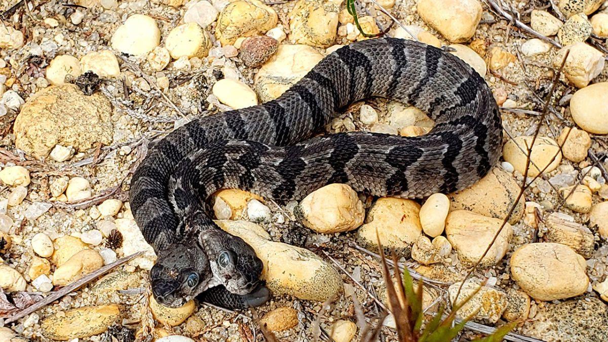 Aterradora serpiente con dos cabezas sorprende a la ciencia desde Nueva Jersey