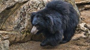 Detenido por cortar penes a osos y comérelos para aumentar su potencia sexual