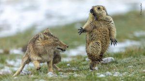 Una foto increíble muestra a una marmota a punto de ser atacada por un zorro