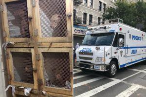 Rescatan a 28 perros que eran puestos a pelear en Nueva York; 2 personas detenidas