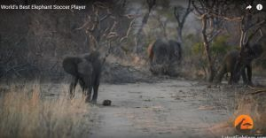 VIDEO: El elefante que es el mejor jugador de fútbol del mundo