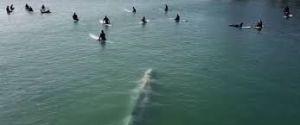 Ballena nada entre surfistas, las increíbles imágenes captadas por un drone son virales