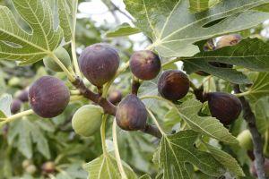 Té de hojas de higo: Extraordinario remedio natural para bajar de peso, contra la diabetes y hemorroides