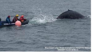Video: Salvan a ballena atrapada en redes de pesca en aguas de California
