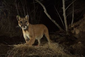 Tres leones de montaña comieron restos humanos en una popular ruta de senderismo