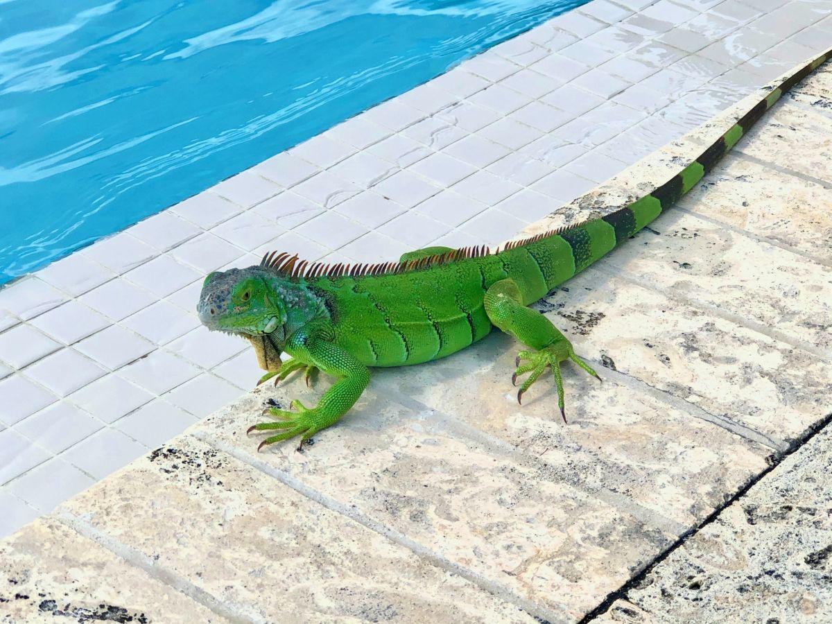Advierten sobre caída de iguanas congeladas en Florida
