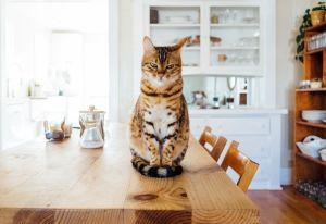 Los gatos disfrutan la carne humana como un delicioso manjar
