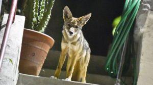 VIDEO: un coyote y su amigo tejón se hacen virales