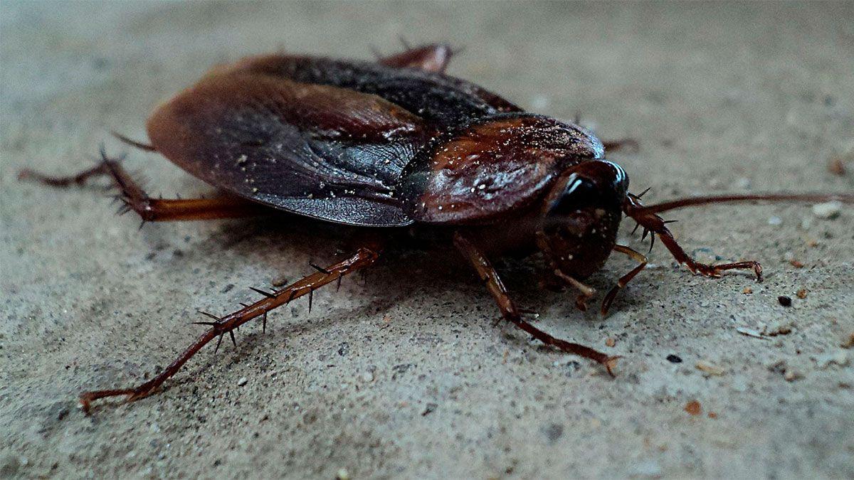 Estudiante australiano ofrece $20 al que vaya a su casa y mate a una enorme cucaracha que está en su cocina