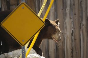 Retiran un enorme oso después de sus peligrosos paseos por Monrovia