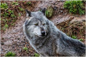 """Yuki, el perro lobo gigante que """"sonríe"""" a sus amigos humanos"""