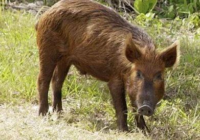 Texas: Niño de 13 años mató con un solo tiro a un cerdo salvaje de 400 libras; checa la foto