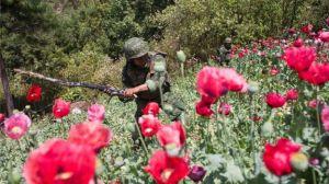 Baja producción de amapola en México, pero no gracias a estrategia de AMLO