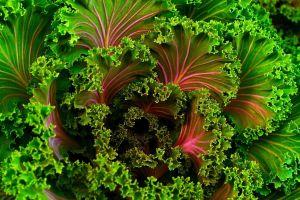 Los maravillosos beneficios medicinales de comer kale