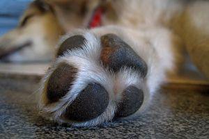 Coronavirus: Las patas de los perros no deben limpiarse con alcohol o cloro