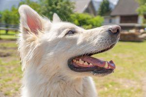 Shiro, el perro sordo que fue devuelto 12 veces y es celebridad en Facebook