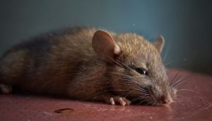 Twitter: roedor de gran tamaño parecido a una rata aparece en la terraza de vivienda en Argentina