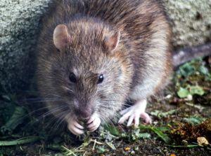 Una de las escuelas más caras y exclusivas de Miami tiene ratas: sus estudiantes están preocupados