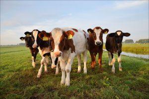 Vaca mutante con dos cabezas sorprende al mundo y se hace viral