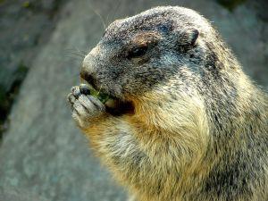 Paciente infectado en China con peste bubónica se contagió por marmota; posibles casos sospechosos alcanzan los 500