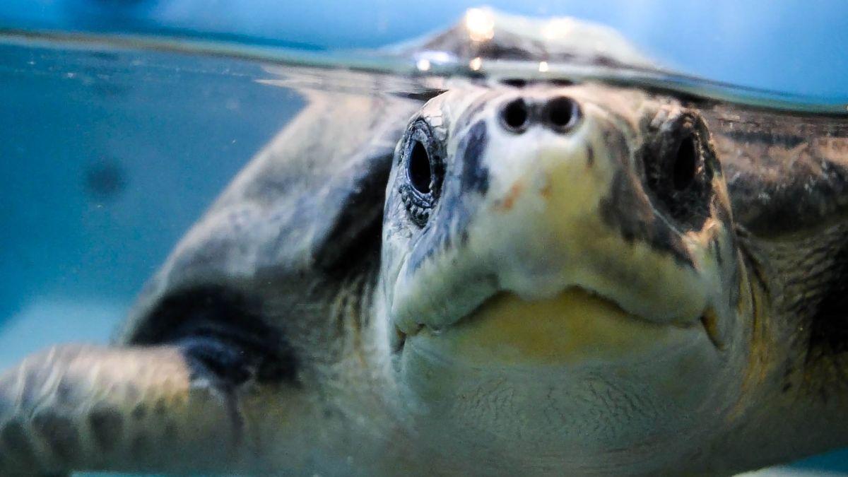 Más tortugas en las playas de Florida, el otro lado de la pandemia