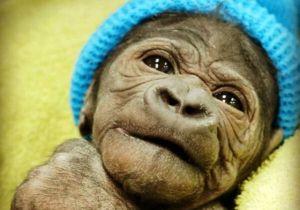 Bebé gorila con el pelo rizado se hace viral