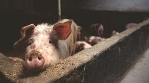 Nace en China cerdo con trompa de elefante