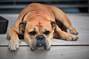 5 consejos para evitar que tu perro enloquezca en la cuarentena