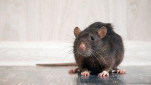 Video de dos ratas en pelea de lucha libre frente a gato se lleva las miradas en redes sociales