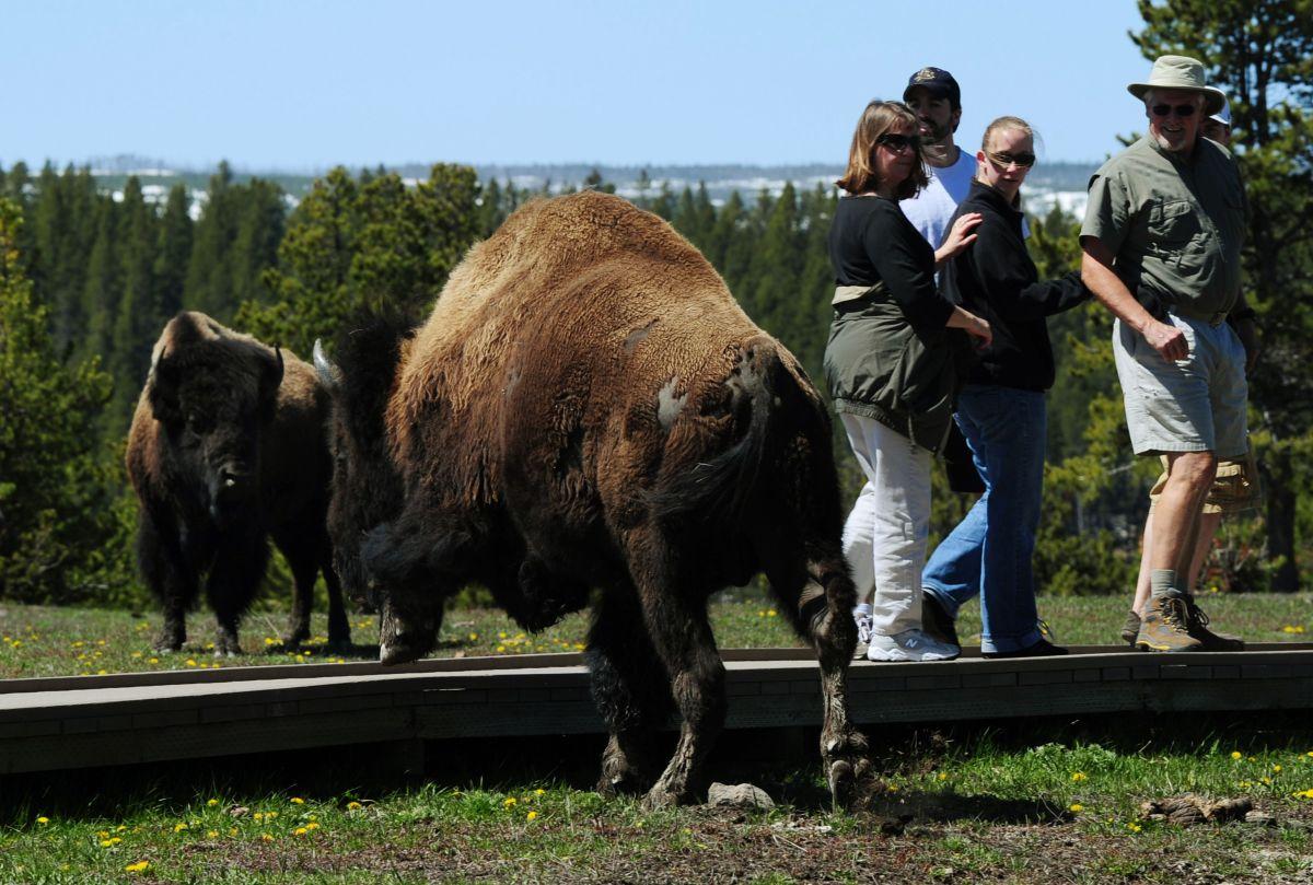 Bisonte ataca a mujer de 72 años que quería tomarle una foto en parque Yellowstone