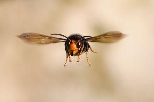 VIDEO: Científicos hallan el primer nido de avispones gigantes en Estados Unidos