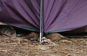 CDC alerta de mayor agresividad de ratas debido a la falta de comida durante pandemia de coronavirus