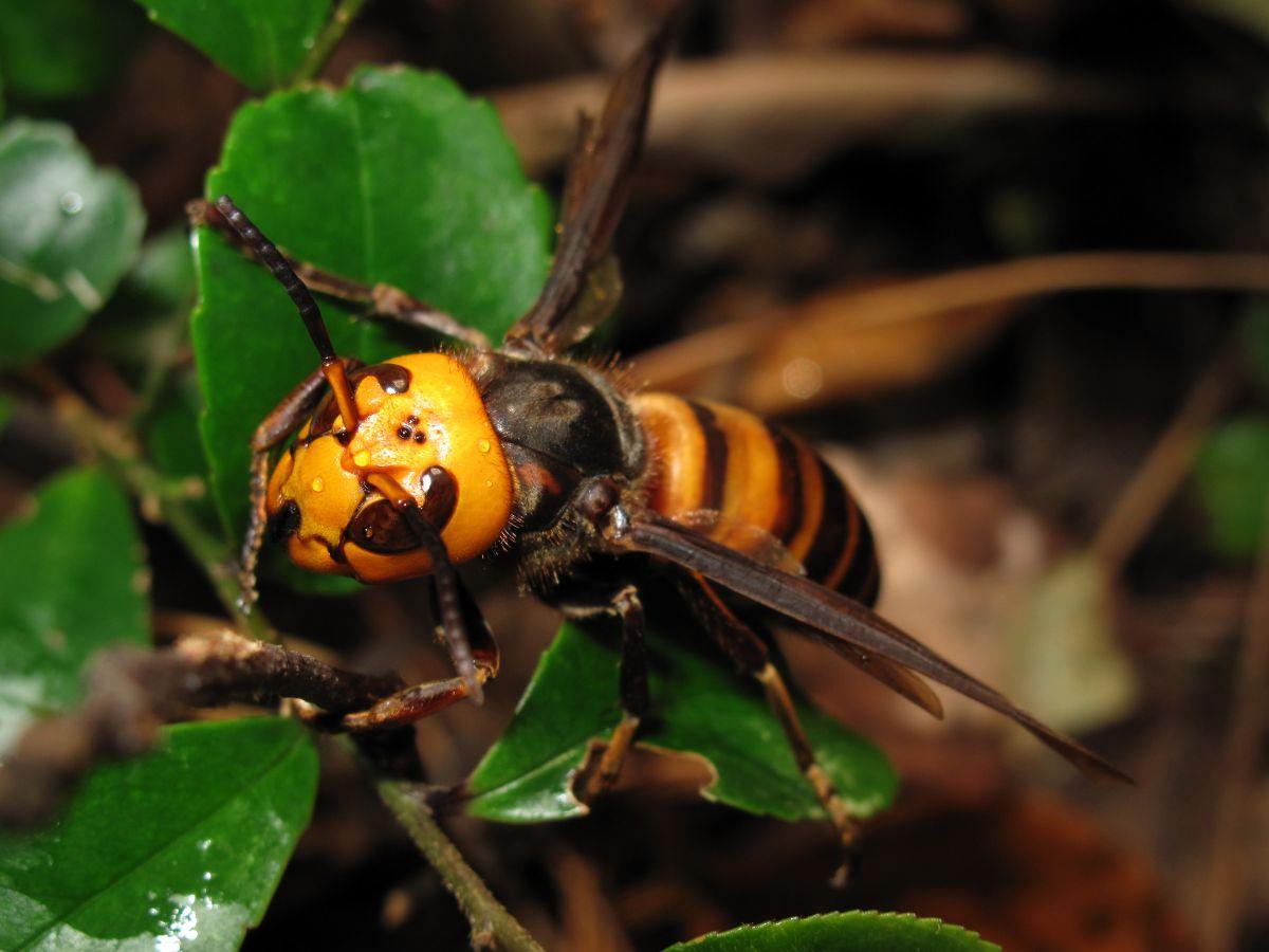 Cómo diferenciar la avispa asesina asiática de las avispas normales