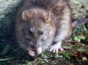 Las ratas están contagiando hepatitis a los humanos, pero se desconoce cómo ocurre la infección
