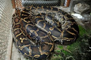 La policía de NY rescata una serpiente de 8 pies en El Bronx