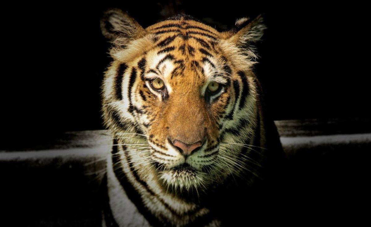 OTOS: Alertaron de un tigre en el jardín de una casa. Pero el amplio operativo policial se llevó una sorpresa