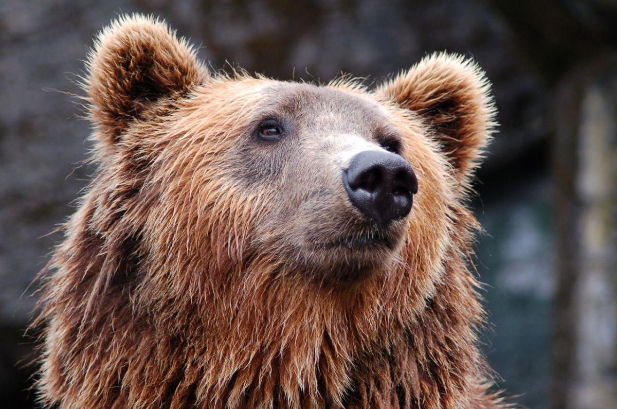 Hombre en estado de ebriedad pelea con un oso e intenta ahogarlo
