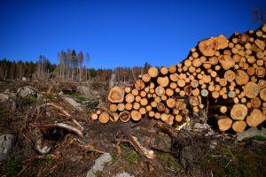 Cártel de Sinaloa y Cártel de Juárez se matan por control de tala ilegal en Triángulo Dorado