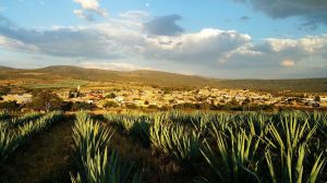 Conoce los poderosos alimentos con los que fertilizan las plantas de agave para hacer el mejor tequila