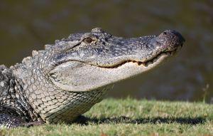 Un adolescente sobrevive al ataque de un caimán de más de 8 pies en Florida