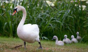 Cisne muere de dolor al ver cómo adolescentes matan a sus crías